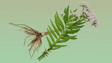 Photo of جذور الفاليريان للمساعدة على النوم الطبيعي